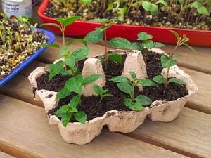 Aprenda a fazer uma horta com caixinhas de ovos!