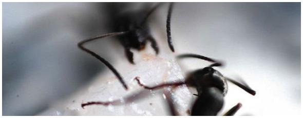 Truques para matar formigas