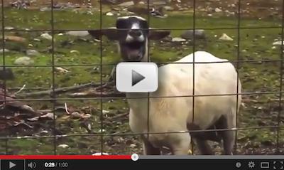 Cabras cantando bodes